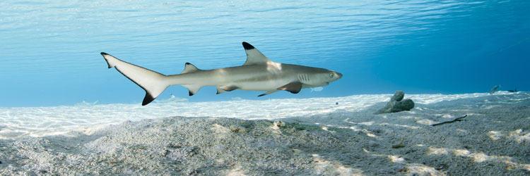 Nagez avec des requins-baleines