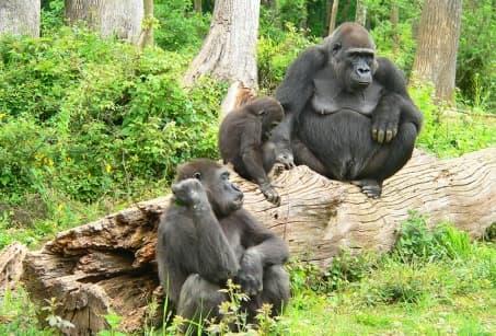 Extension - Bonjour Gorilles du Rwanda !