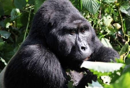 Les gorilles de la Forêt Impénétrable