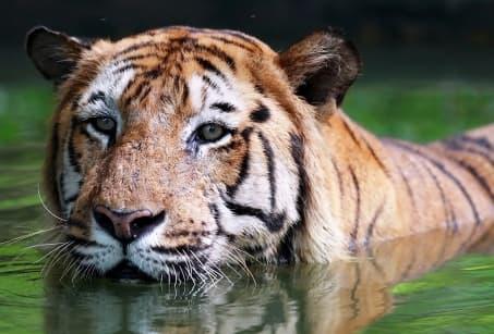 Tigres et Éléphants