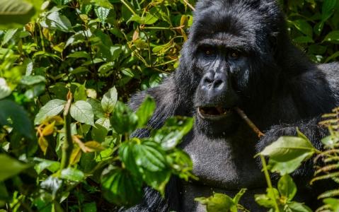 activity Observer les gorilles des montagnes dans la forêt impénétrable de Bwindi