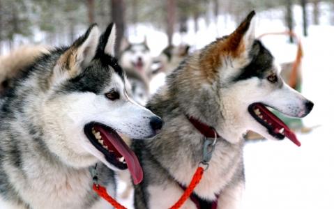 activity Balade en traîneau à chiens