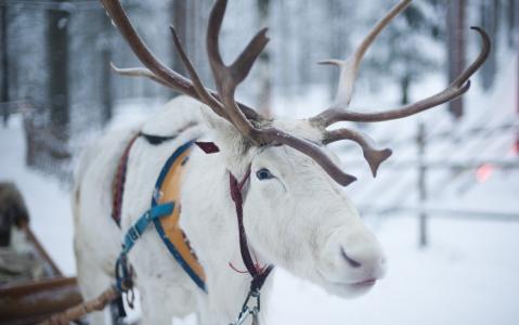 activity Balade en traîneau à rennes