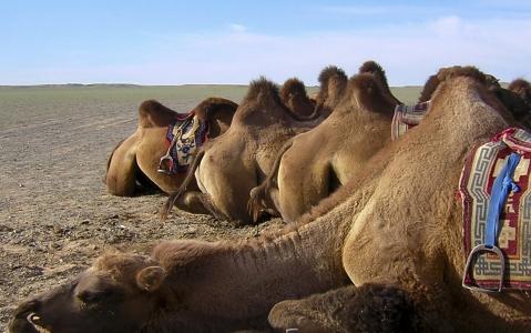 activity Excursion à chameau