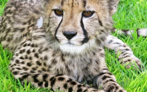 activity Cheetah Conservation Fund