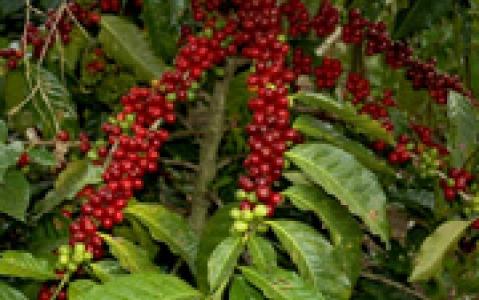 activity Visite d'une plantation de café à Coroico