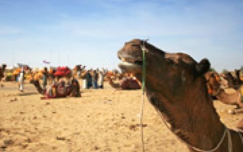 activity Balade à dos de chameau à Roopangarh