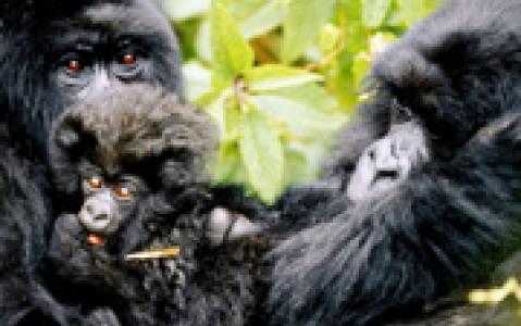 activity A la rencontre des gorilles de montagne