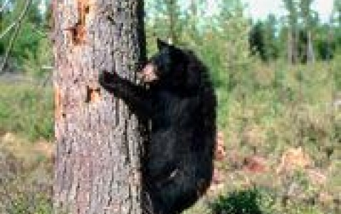 activity Tour en jeep pour observer les ours noirs et les castors