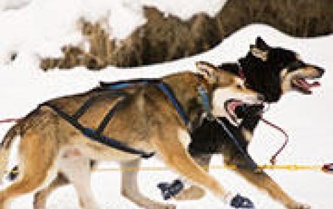 activity Initiation au traîneau à chiens