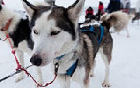 activity Raid traîneau à chiens