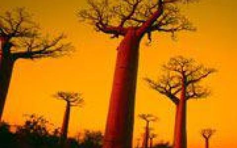 activity La forêt de baobabs