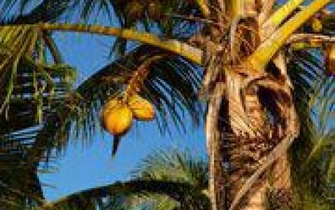 activity Au cœur des plantations de noix de coco
