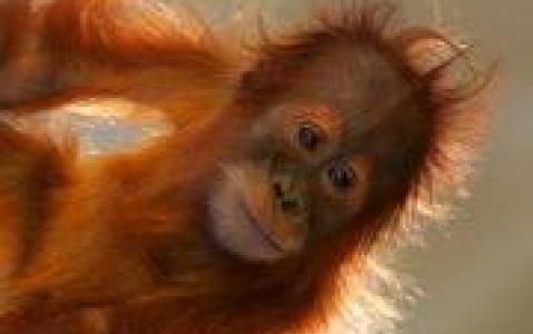 activity Centre de réhabilitation des orangs-outans de Sepilok