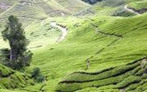activity Visite d'une plantation de thé à Cameron Highlands
