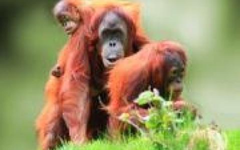 activity Centre de réhabilitation des orangs-outans de Semenggoh