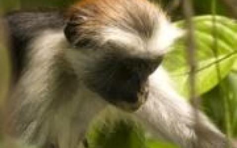 activity Visite de la forêt de Joziani - Archipel de Zanzibar