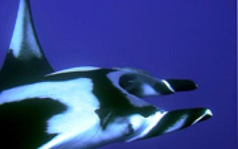 activity Safari requins et raies en plongée libre