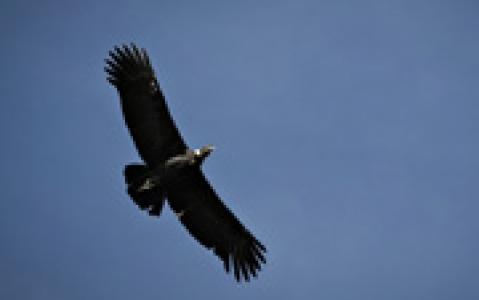 activity Observation des condors à Croix des Condors