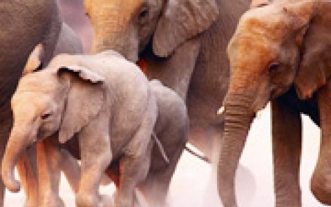 activity A dos d'éléphant (Afrique Australe)