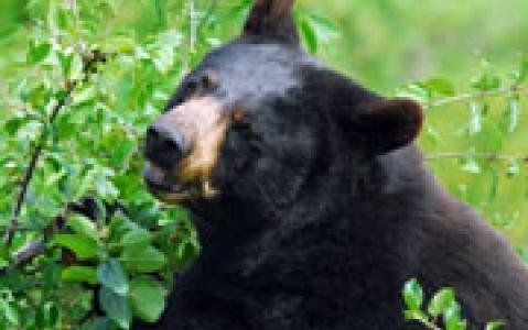 activity Observation de l'ours noir