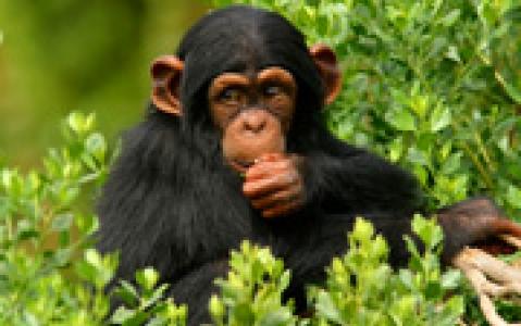 activity Un permis chimpanzé