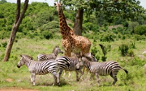 activity Safari guidé en 4x4 au Kruger