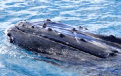 activity Observation des baleines de Nouvelle Calédonie