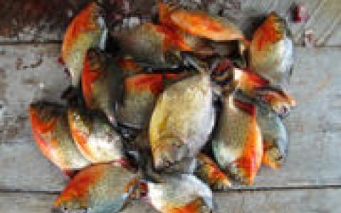 activity Pêche aux Pirhanas