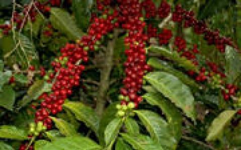 activity Visite d'une plantation de café