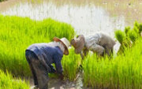 activity Randonnée au cœur des rizières jusqu'à Batad