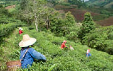activity Dégustation de thé et visite d'une plantation