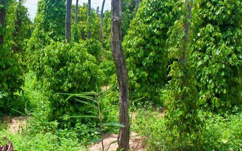 activity Au cœur d'une plantation de poivrier