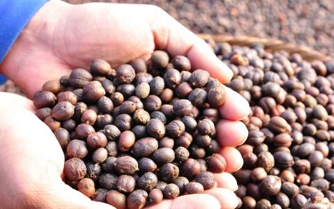 activity Visite d'une plantation de café au Laos