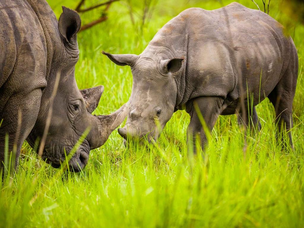 A la rencontre des derniers rhinocéros d'Ouganda