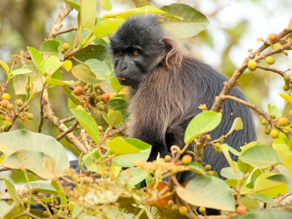Marche à la recherche des singes Mangabeys