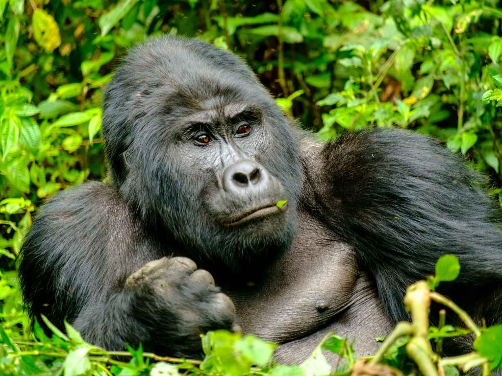 A la découverte des Gorilles