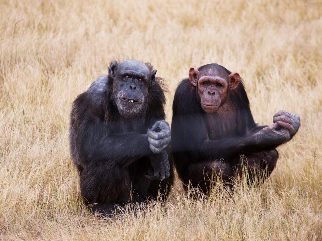 Chimpanzés et jacarandas en fleur