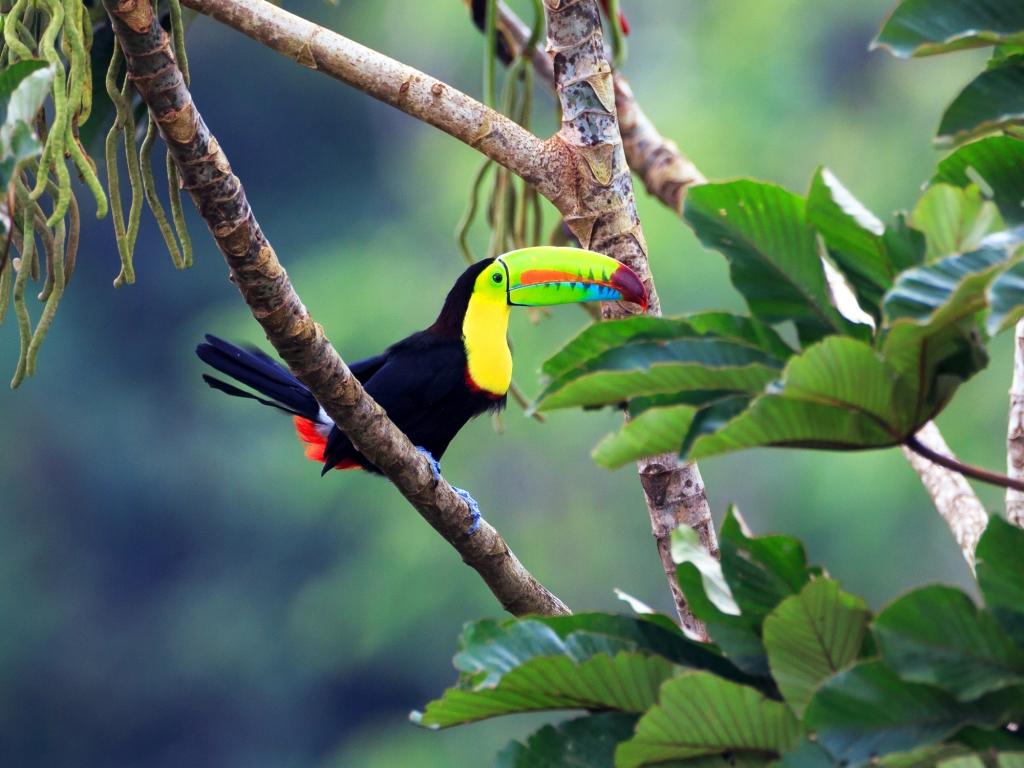 Tortues, toucans et caïmans