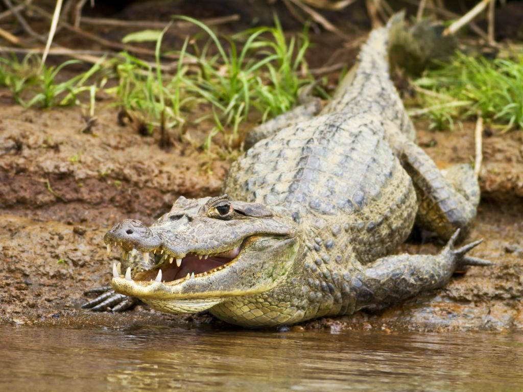 Les plus gros crocodiles du Costa Rica