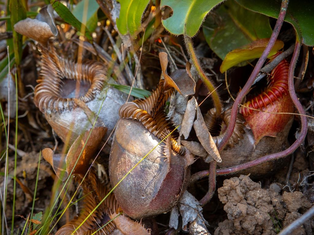 La biodiversité exceptionnelle du mont Kinabalu