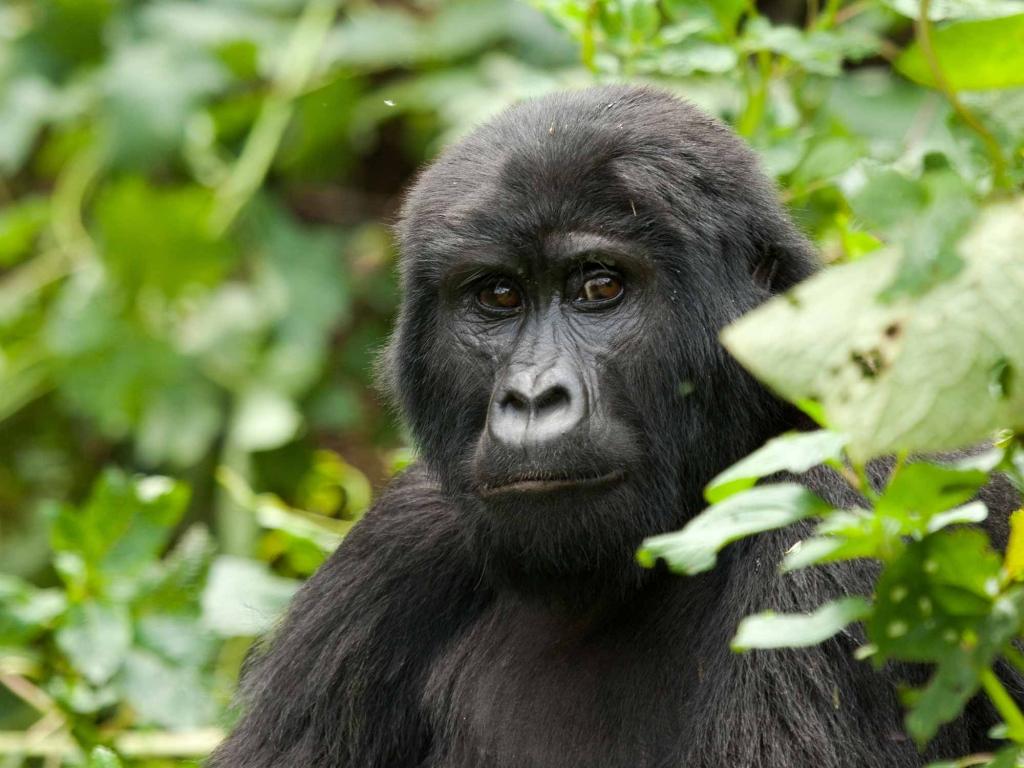 A la rencontre des Gorilles, moment magique !