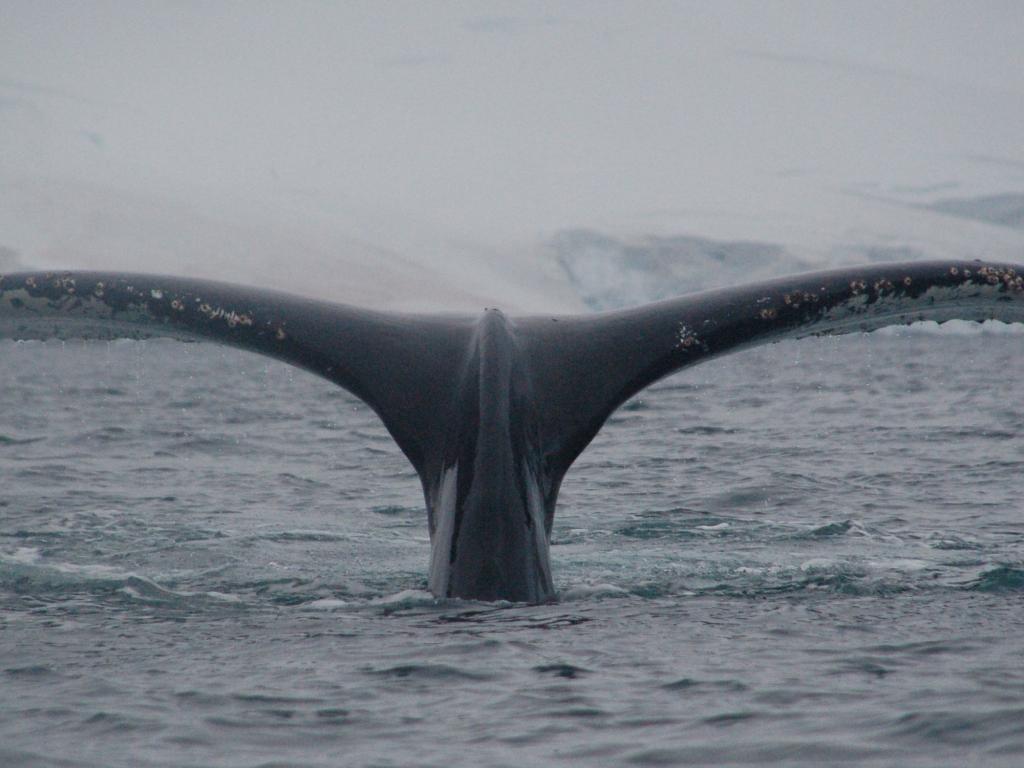 Approcher les géants des mers, les baleines