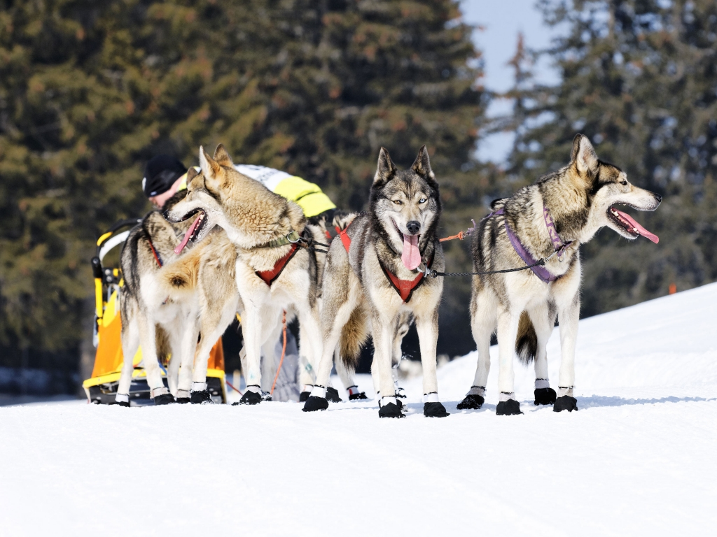 Randonnées en traineaux à chiens