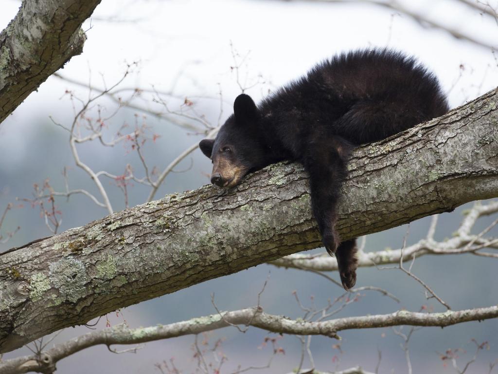 Observation de l'ours noir pour une journée 100% nature !