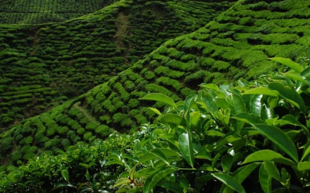 Les plantations de thé de Boseong