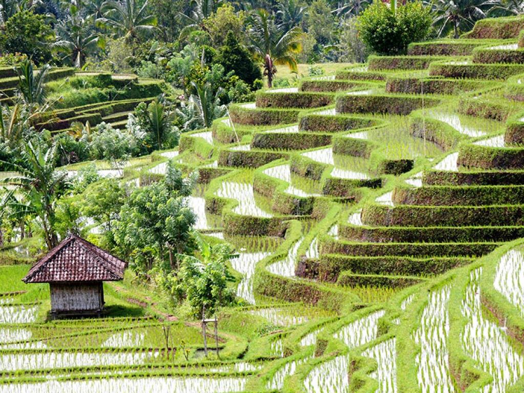 Les rizières du delta du fleuve rouge