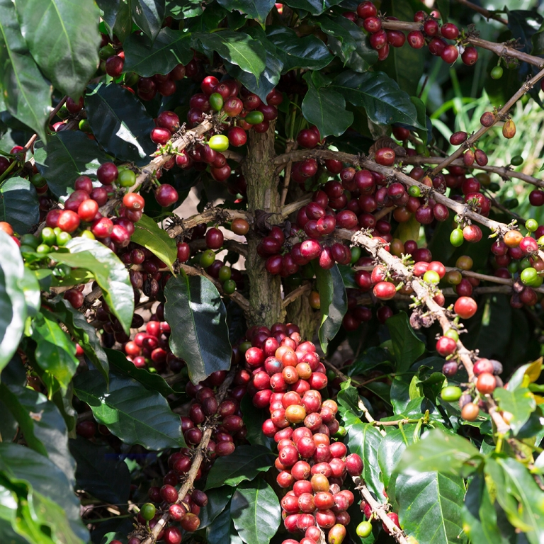 Visite d'une plantation de café