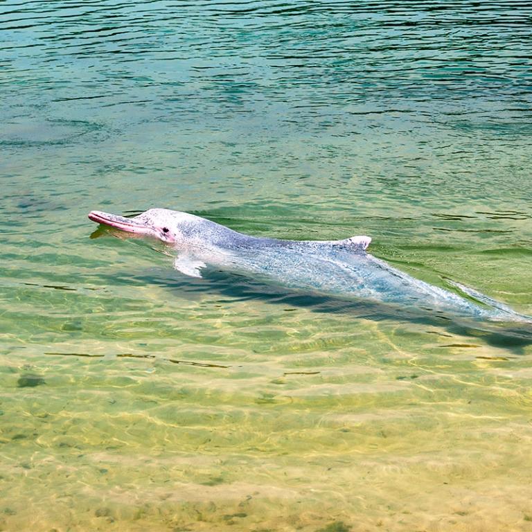 Les dauphins d'eau douce d'Irrawaddy