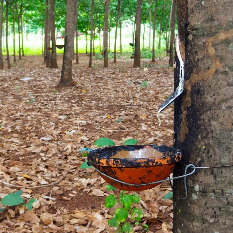 Les plantations d'hévéas de Chup